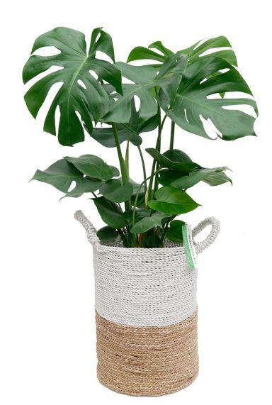 Monstera gatenplant in mand 1
