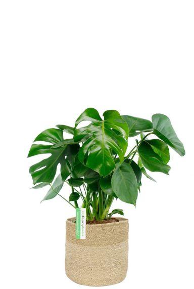 Monstera gatenplant in mand 1 1