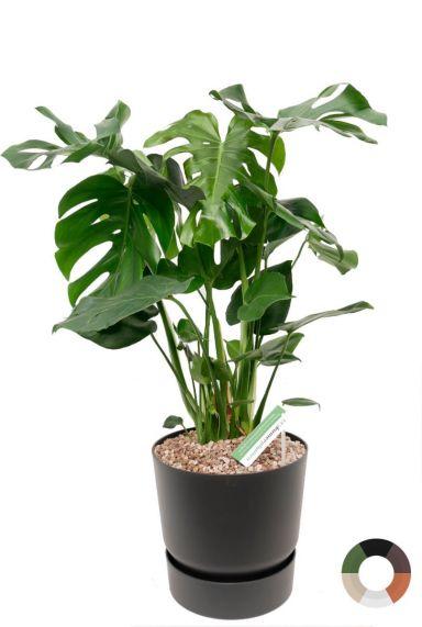 Monstera gatenplant zwarte pot 1