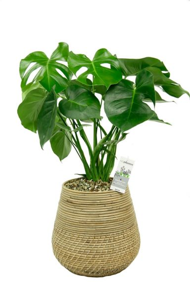 Monstera in mand