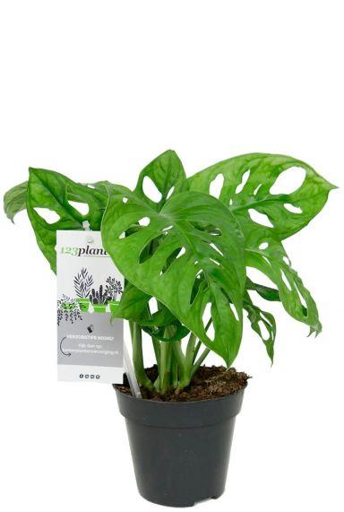 Monstera obliqua kamerplant 1 1