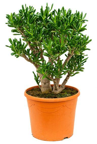 Mooie crassula gollum woonplanten aanschaffen