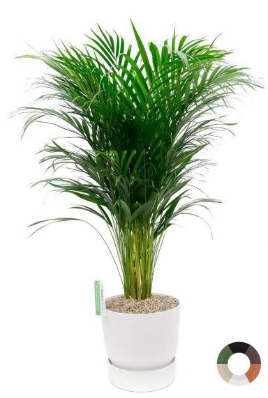 Mooie palm in elho potten 1