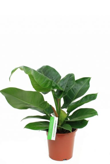 Mooie philodendron imperial green huiskamerplant