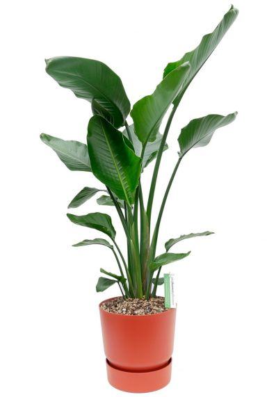 Kamerplant met grote bladeren in pot