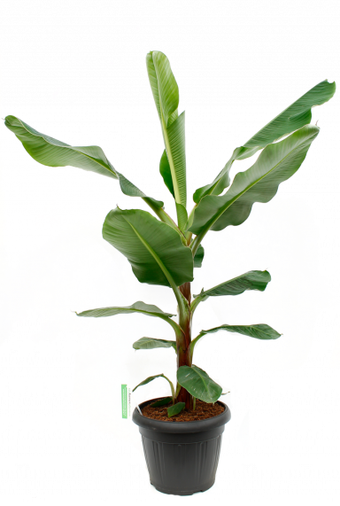 Musa Bananenplant kamerplant