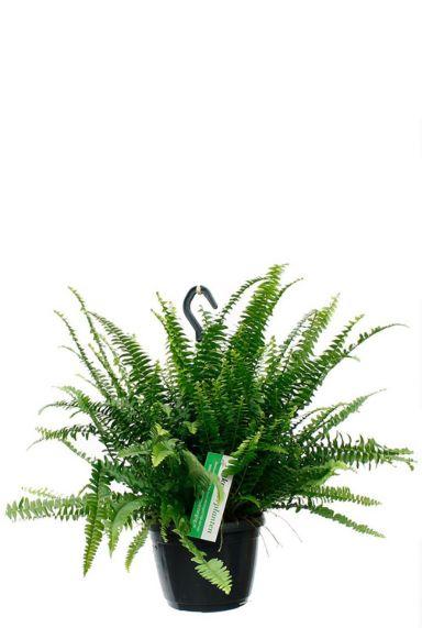 Nephrolepis green lady krulvaren
