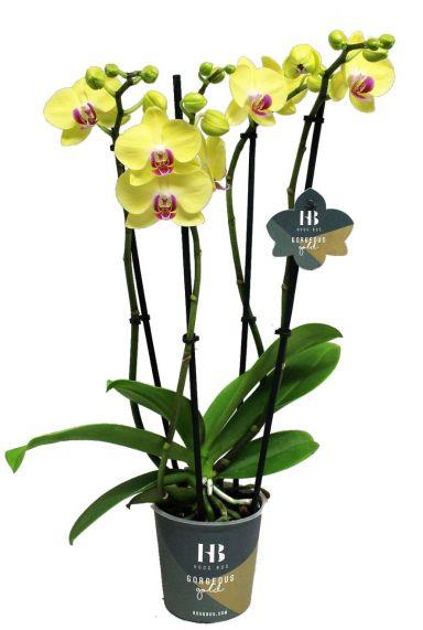 Orchidee phalaenopsis georgeous gold