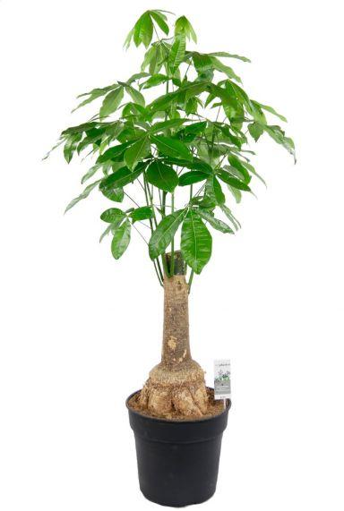 Pachira dikke stam kamerplant