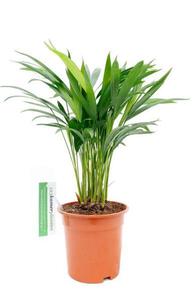 Palm areca chrysalidoc lutescens kopen