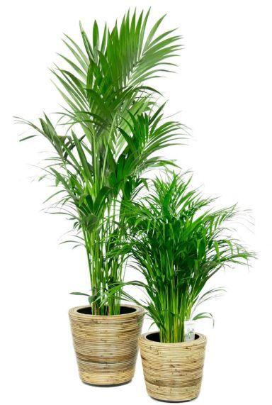 Palm kamerplanten in mand