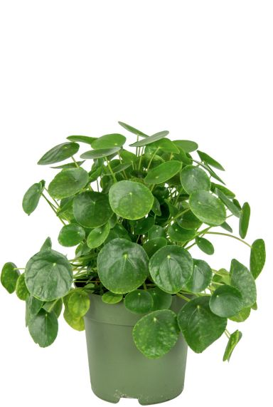 Pannenkoekenplant-pilea-kamerplant