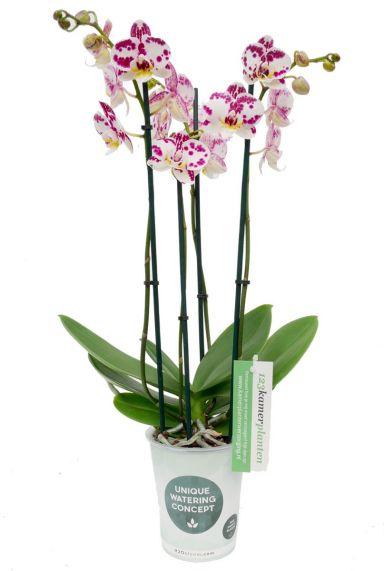 Phalaenopsis Kiss - 4 tak
