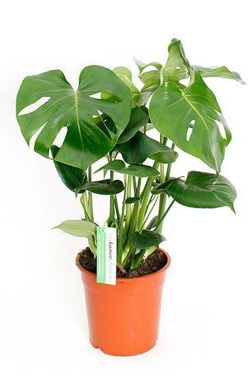 Philodendron-monstera-deliciosa-gatenplant 1  3