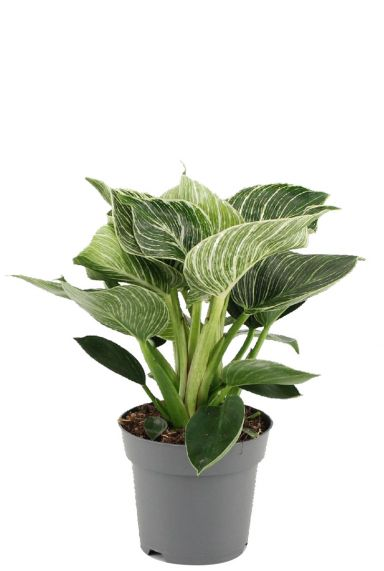 Philodendron-white-wave-p14