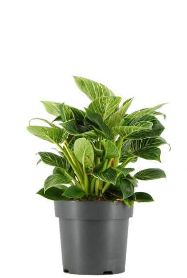 Philodendron-white-wave-p21