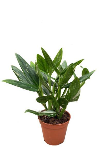 Philodendron cobra kamerplant 1