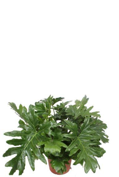 Philodendron cum laude kamerplant 1