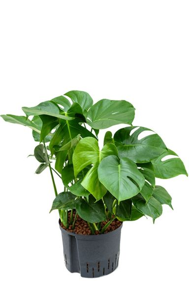 Philodendron gatenplant hydrocultuur 1
