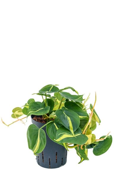 Philodendron grand brasil hydrocultuur