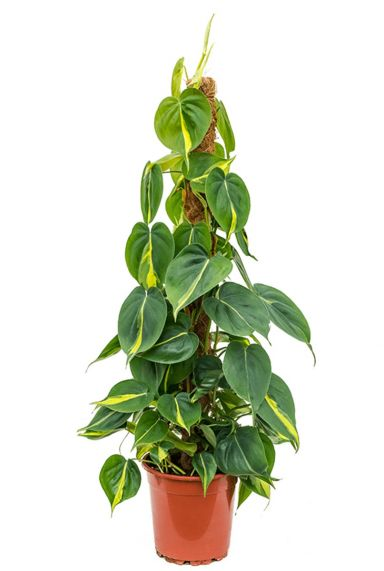 Philodendron grand brasil plant