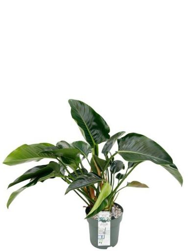 Philodendron green beauty plant 1