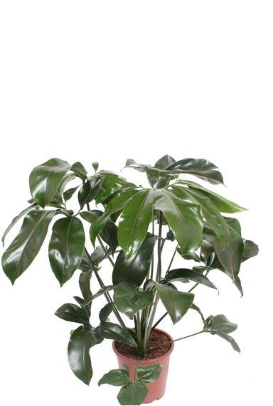 Philodendron green wonder fun bun