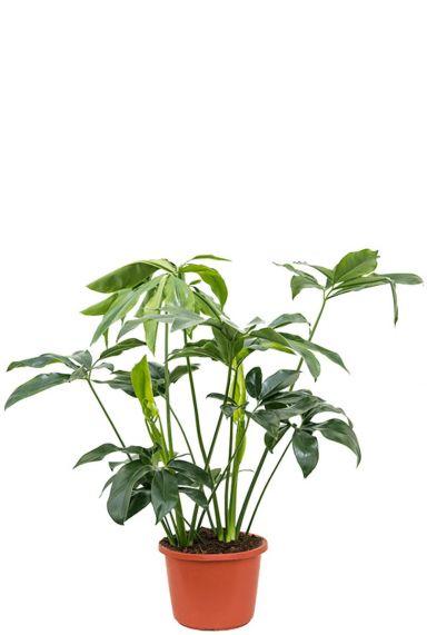 Philodendron green wonder kamerplant 1