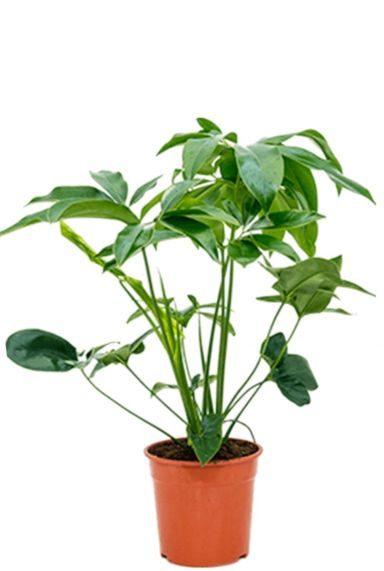 Philodendron green wonder plant