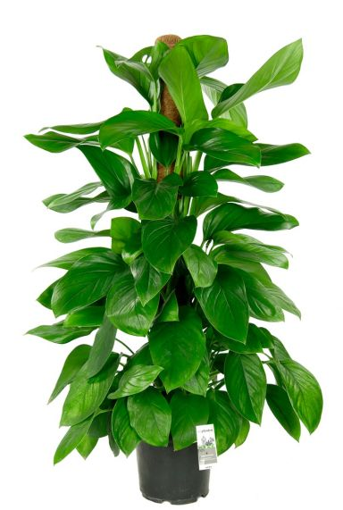 Philodendron guttifero kamerplant