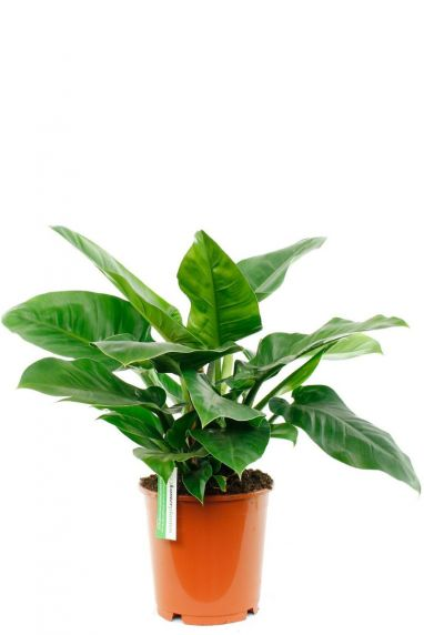 Philodendron Imperial Green 24cm