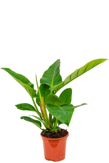 Philodendron imperial green 2 1