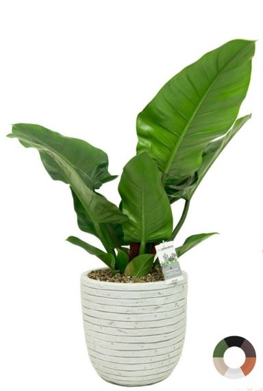 Philodendron imperial green 2 3