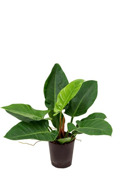 Philodendron imperial green hydrocultuur 1