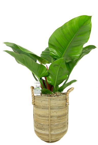 Philodendron imperial green in pot 2