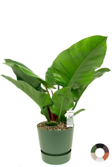 Philodendron imperial green in potten 1
