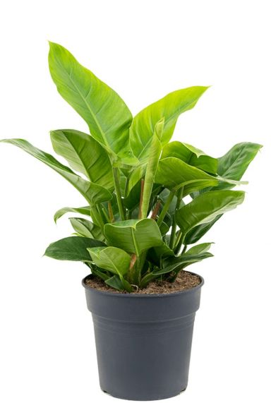 Philodendron imperial green plant 1 2