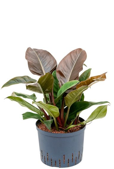 Philodendron imperial red hydrocultuur 1