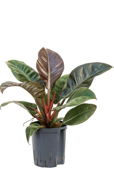 Philodendron imperial red hydroplant