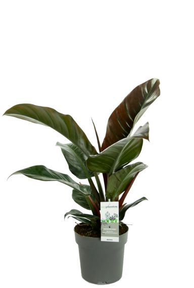 Philodendron imperial red kamerplant 3