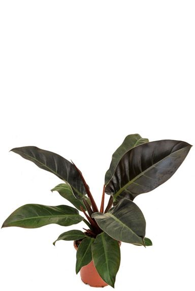 Philodendron imperial red plant