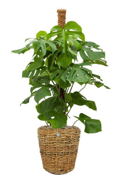 Philodendron monstera in mand