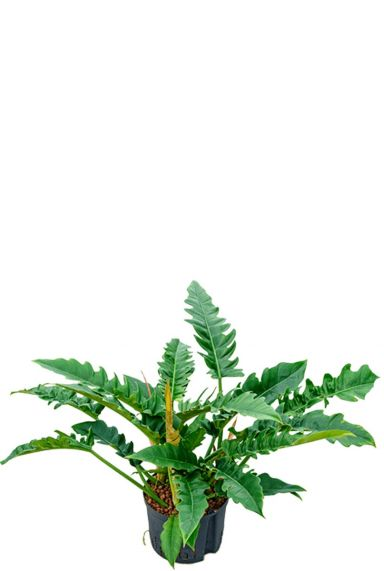 Philodendron narrow hydroplant