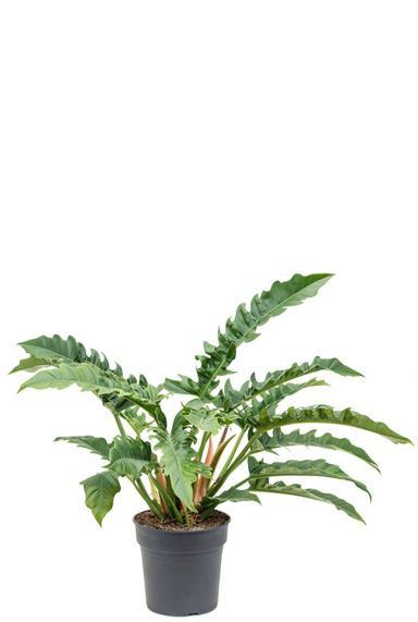 Philodendron narrow kamerplant 1