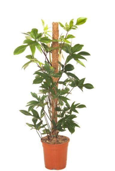 Philodendron pedatum kamerplant 1