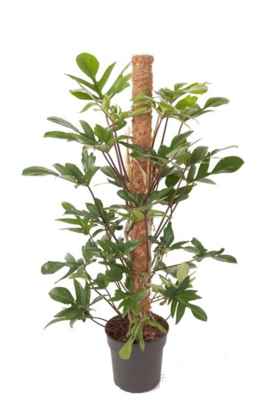 Philodendron pedatum plant