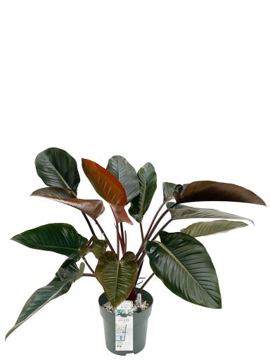 Philodendron red beauty kamerplant