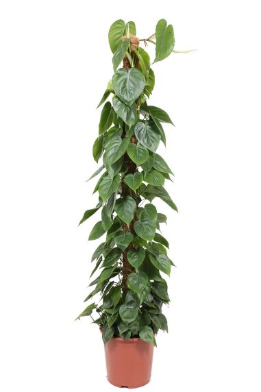 Philodendron scandens 2