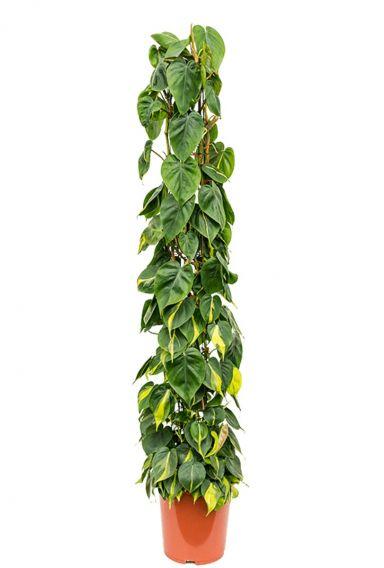 Philodendron scandens brasil mosstok