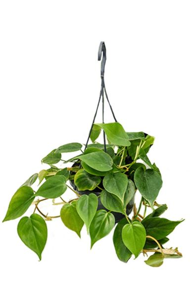 Philodendron scandens hangplantje 1